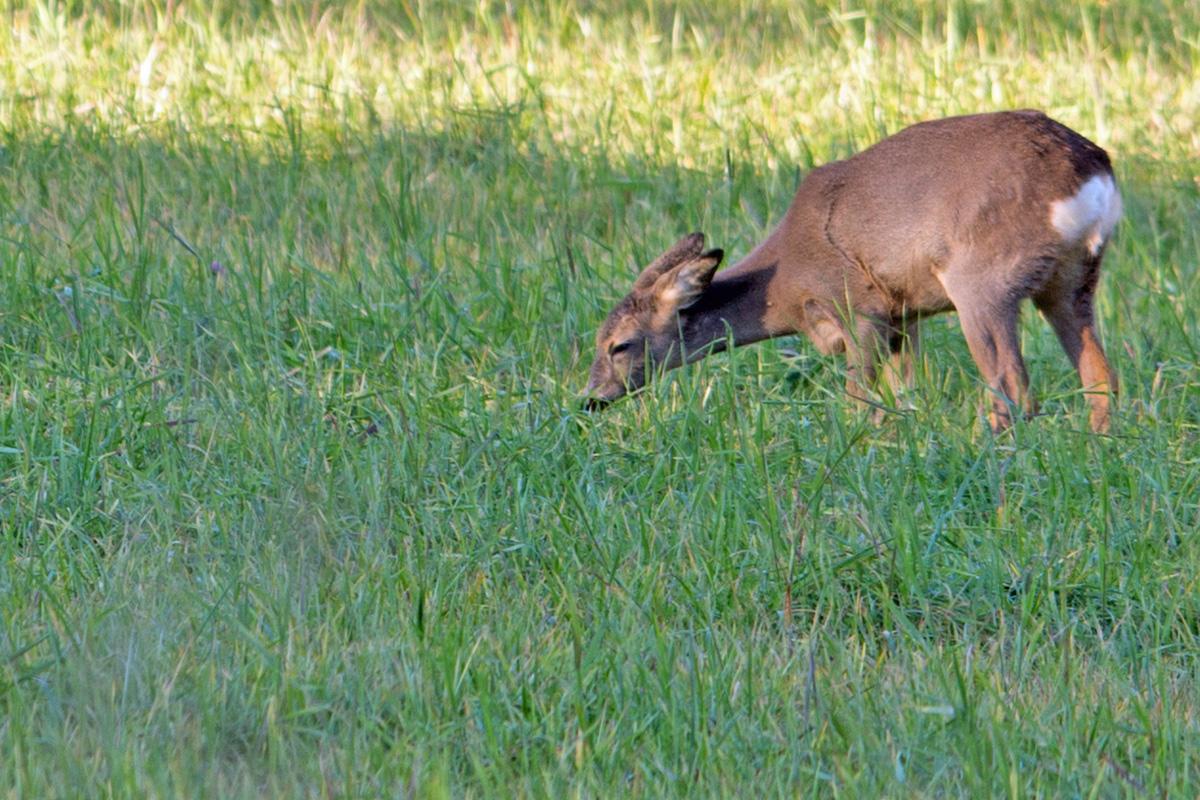 Ikke sjeldent er det ville dyr å se, ja, du behøver ikke engang å gå ut av hytta for å se verken elg eller rådyr som kommer ut av skogen for å spise eller som er krysser campingen.